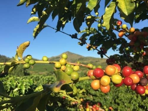 coffee tree jamaica